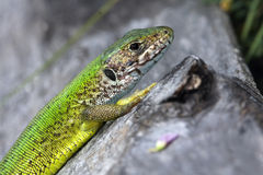 Green lizard / Lacerta viridis Royalty Free Stock Image
