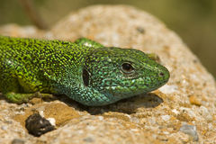 Green lizard / Lacerta viridis Royalty Free Stock Photography