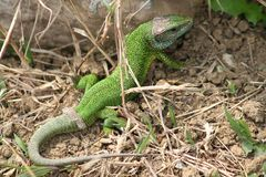 Green lizard / Lacerta viridis Royalty Free Stock Photography