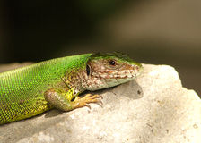 Green lizard / Lacerta viridis Stock Photography