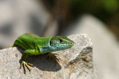 Green lizard / Lacerta viridis. An adult of green lizard resting on a hot rock Royalty Free Stock Images