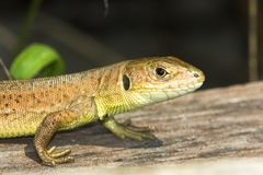 Green lizard (Lacerta viridis) Stock Images