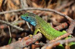 Green lizard (lacerta viridis) Royalty Free Stock Photos