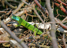 Green lizard (lacerta viridis) Royalty Free Stock Photography