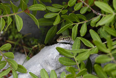 Green Lizard - Lacerta viridis, Croatia, Europe. Green Lizard on the rock in Croatia Royalty Free Stock Photo
