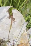 Green Lizard - Lacerta viridis, Croatia, Europe. Green Lizard taking sunbath on the stone in Croatia, island Pag Royalty Free Stock Image