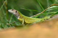 Green lizard Lacerta viridis, female Stock Photography