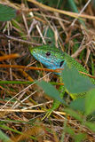Green lizard (Lacerta viridis) Royalty Free Stock Photography