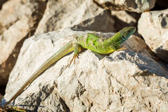 Green lizard - Lacerta viridis sheds its skin Royalty Free Stock Photography
