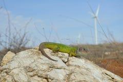 Green Lizard Lacerta viridis Stock Photography