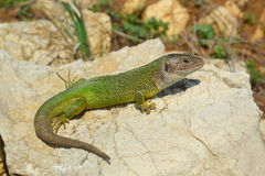 Green Lizard Lacerta viridis Stock Photos