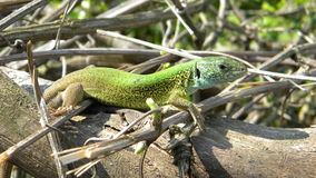 Green Lizard. (Lacerta viridis), young male sitting on branches Stock Images