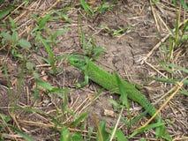 Green lizard (lacerta) watching in  grass. Green lizard (lacerta) watching without moving in  grass Stock Photos
