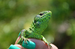 Green lizard or lacertian in the girl`s fingers gazing straight at you Stock Images