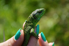 Green lizard or lacertian in the girl`s fingers with green nail polish Stock Photography