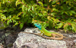Green lizard. Large green lizard sitting on a stone Stock Photo