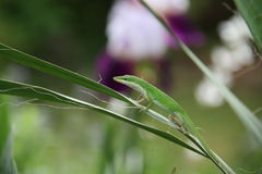 Green lizard on a leaf Royalty Free Stock Photography