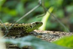 Green lizard on a log Royalty Free Stock Photos