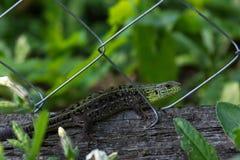 Green lizard on a log Stock Photography