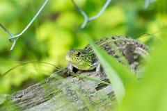 Green lizard on a log Royalty Free Stock Photo