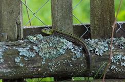 Green lizard on a log Stock Images