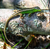 Green lizard on a log square formate Royalty Free Stock Image