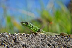 The green lizard with long tail enjoys the sun. Creepy in the wild nature. Wild life next to man. Closeup go green lizard-gecko, sunbathing at the sun/ closeup Stock Images