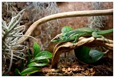 Green lizard with a long tail standing on a piece of wood Royalty Free Stock Photo