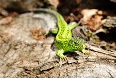 Green lizard macro Royalty Free Stock Image