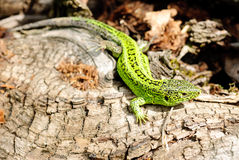 Green lizard macro Royalty Free Stock Images