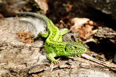 Green lizard macro on a background Royalty Free Stock Photo