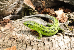 Green lizard macro on a background of tree bark Stock Photos