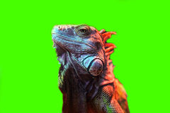 The green lizard Royalty Free Stock Images