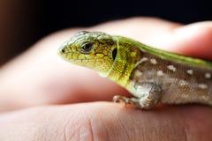 Green lizard macro view. Beautiful wild animal on hand. Shallow depth of field, soft focus royalty free stock photo