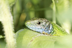 a green lizard male resting on a green plant / Lacerta viridis Stock Image