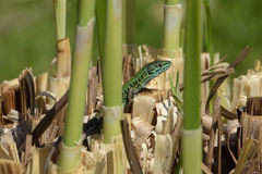 Green lizard marshes Royalty Free Stock Photography