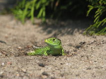 Green lizard. Lizard during mating season Royalty Free Stock Images