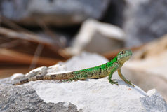 Green Lizard, Mexico Stock Photography