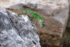 Green Lizard, Mexico royalty free stock images