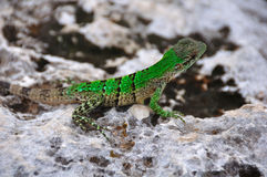 Free Green Lizard, Mexico Stock Images - 16516514
