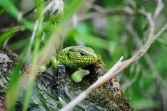 Green lizard in natural conditions royalty free stock image
