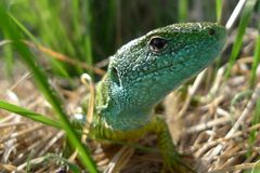 Green lizard in nature Royalty Free Stock Images
