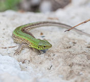 Green lizard in the nature Stock Photography