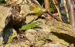Green lizard out of its hole. A green lizard coming out of its hole in the rocks.The filfola lizard or Maltese wall lizard (Podarcis filfolensis) is a species of stock image