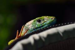 Green lizard outdoor Stock Photo