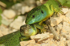 Green lizard. Pair of green lizards (Lacerta bilineata) by the roadside Stock Image