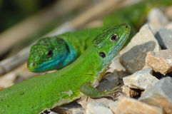 Green lizard. Pair of green lizards (Lacerta bilineata) by the roadside Stock Images