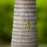 Green lizard on a palm trunk Stock Photos