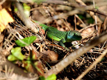 GREEN LIZARD. Photographed in the woods on the edge of a trail. Small very fierce reptile, there are more than three thousand species Royalty Free Stock Images