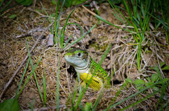 Green lizard playing Royalty Free Stock Photos